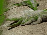 Die heiligen Krokodile von Kachikally...
